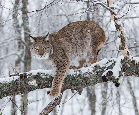 A lynx in the snow