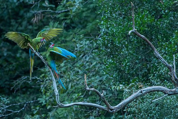 Military Macaws in Sierra Gorda, photographed by Roberto in Nov 2019 Image: Roberto Pedraza Ruiz