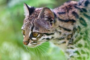 Oncilla (Leopardus tigrinus)