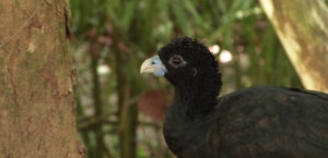 Blue-billed-Currasow ©Susanne Cohen Wildlife Photography