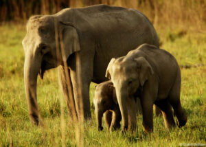Elephant family group at Corbett National Park, India. Credit David Bebber.