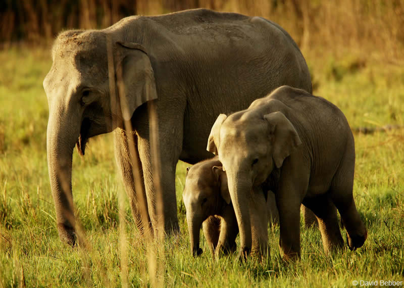 Elephant family group at Corbett National Park, India. Credit David Bebber.