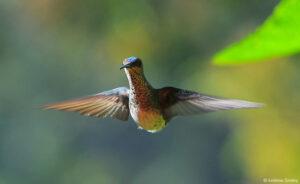Hummingbird at Buenaventura Reserve © Andrew Smiley