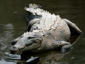 American crocodile/Credit:Tomás Castelazo.CC Attribution-Share Alike,2.5,2.0and1.0 license.