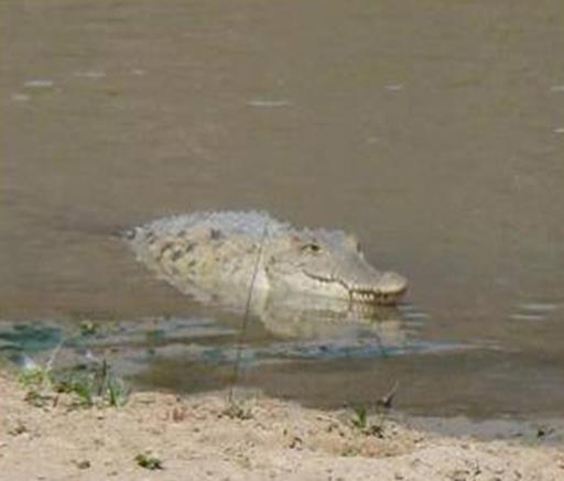 American Crocodile © Naturaleza y Cultura Ecuador
