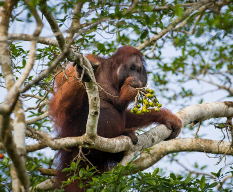 Orangutan, Kinabatangan. Malaysian Borneo ©Nick Garbutt