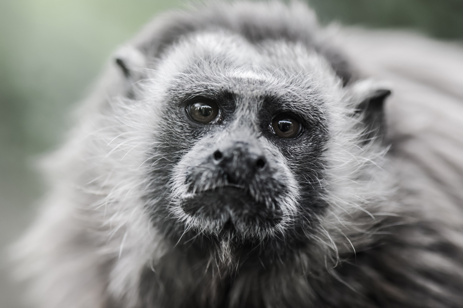 White-footed Tamarin credit:David Antonio Lopez Moya/Shutterstock