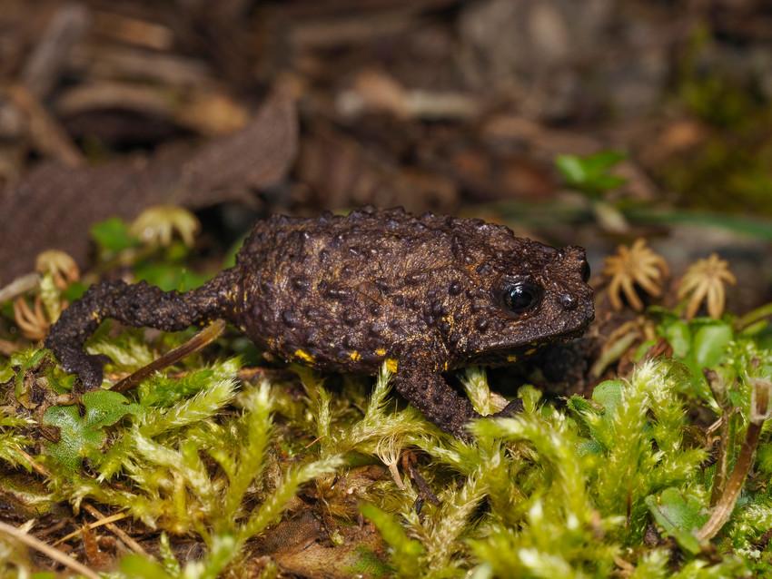 Backshall's Toad. Credit:Lou Jost/EcoMinga