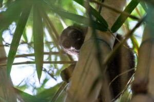 Grey-handed Night Monkey. Credit:Freddy Gomez