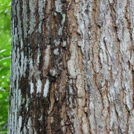 Swietenia macrophylla © 2009 Jee & Rani Nature Photography (License: CC BY-SA 4.0)