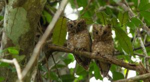 Sokoke Scops Owl. Credit:Chris Hodgson