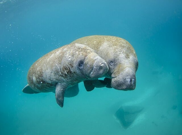 West Indian Manatee mother and calf. Credit: Sam Farkas (NOAA Photo Library) / Public domain