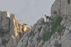 Bezoar Goats, CWR ©FPWC