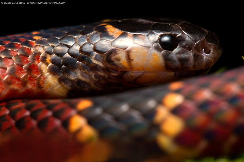 Coral Snake, Nangaritza (Maycu) reserve.©Jaime Culebras/TropicalHerping.com