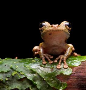 Buckley's Slender-legged Tree Frog,Nangaritza ©Tropical Herping.com