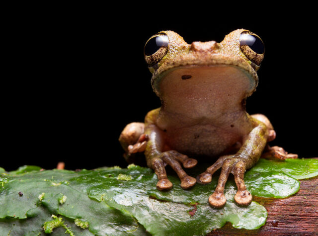 Buckley's Slender-legged Tree Frog,Nangaritza ©Tropical Herping.com