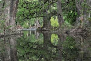 Ancient Cypress Forest, Sierra Gorda©Roberto Pedraza Ruiz