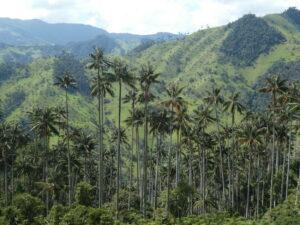 Wax Palms ©Richard Cuthbert/WLT