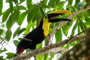 Yellow-throated Toucan, Barbacoas © Freddy Gomez
