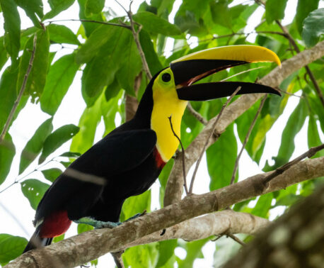 Yellow-throated Toucan, Barbacoas © Freddy Gomez