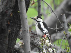 Syrian Woodpecker (female)CWR ©Boris Vanyan/FPWC