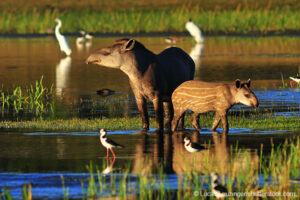Lowland Tapir, Colombia © Lucas Leuzinger/Shutterstock