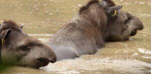 Lowland Tapir, REGUA ©Alan Martin