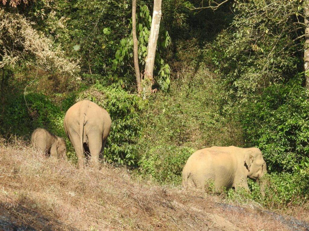 Indian Elephants, Tirunelli-Kudrakote Corridor. Credit: Wildlife Trust of India.