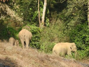 Indian Elephants, Tirunelli-Kudrakote Corridor. Credit: Wildlife Trust of India.