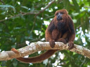 Brown Howler Monkey. ©Peter Shoen CC 2.0