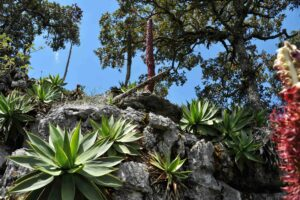 Agaves and oak © GESG