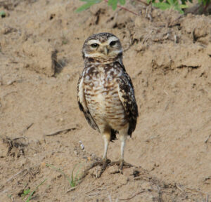 Burrowing Owl, REGUA.©Scott Guiver