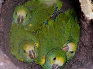 Yellow-shouldered Parrot chicks, Margarita Island © José Manuel Briceño