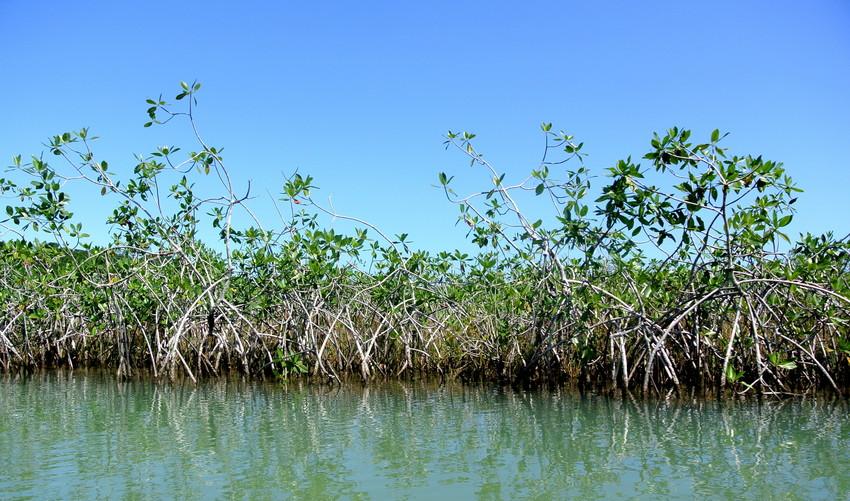 Mangroves at Laguna Grande, Guatemala. Credit: WLT/Bethan John