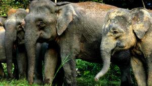 Bornean Elephant herd, lower Kinabatangan.Credit: HUTAN/Jamil Sinyor