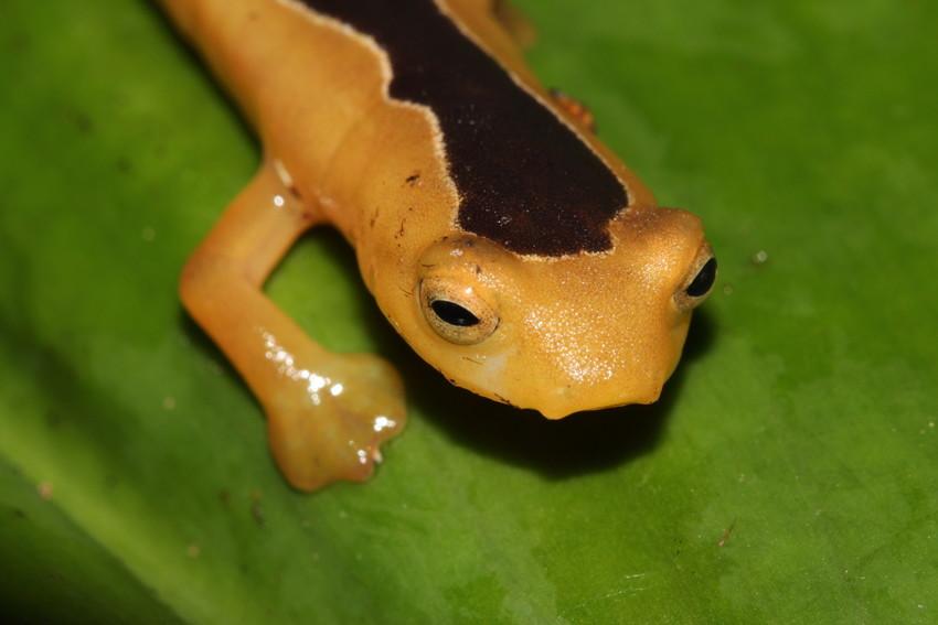Jackson's Climbing Salamander. Credit: Lindsay Renick Mayer