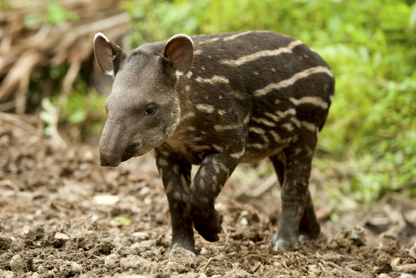 Young Lowland Tapir. Credit: Ben Queenborough/Shutterstock