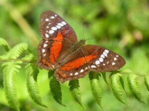 Anartia amathea butterfly ©WLT/Richard Cuthbert