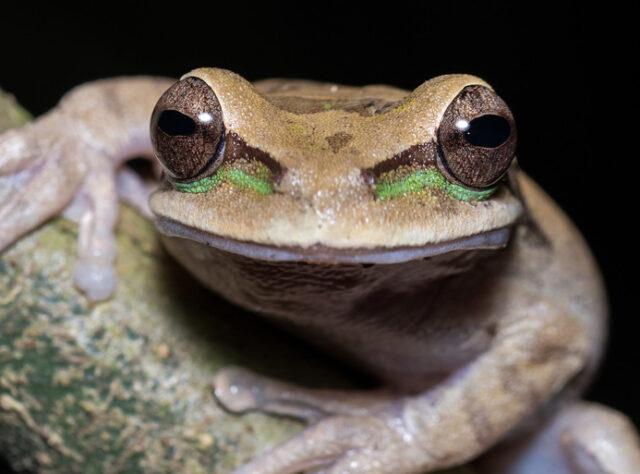 New Granada cross-banded tree frog (Smilisca phaeota), Middle-Magdelana, Barbacoas ©Johann Chrétien