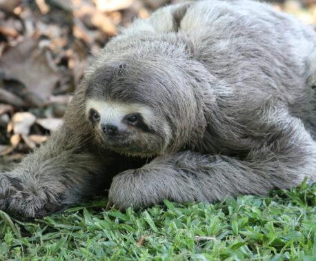 Brown-throated Sloth, REGUA. © Alan Martin.