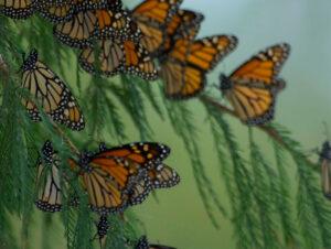 Monarch butterflies, Sierra Gorda, Mexico. Credit: Roberto Pedraza Ruiz