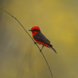 Vermillion Flycatcher. ©Charles Smith/NCI