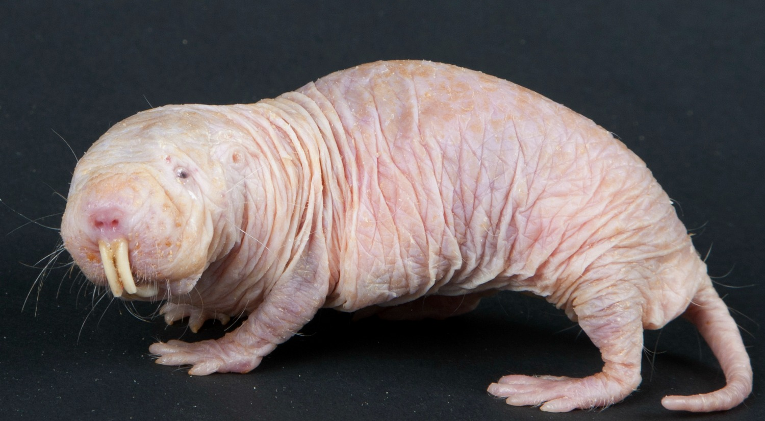 Naked Mole Rat. Credit: Smithsonian's National Zoo/flickr, CC BY-NC-ND