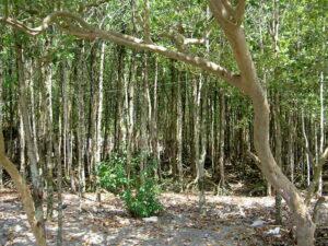 Mangroves, Danjugan Island. Credit: WLT