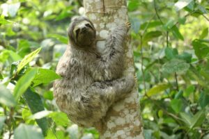 Brown-throated Sloth. ©Lee Dingain