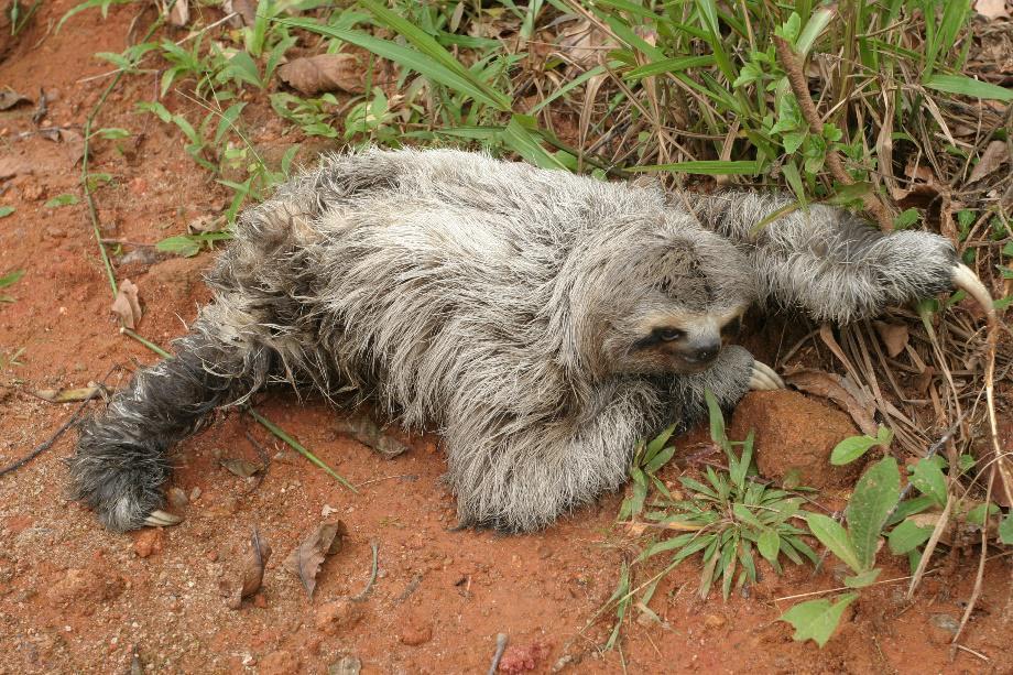 Brown-throated Sloth. ©Alan Martin