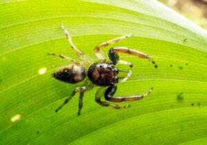 Arnoliseus hastatus spider on a leaf, REGUA, Brazil. Credit: André Almeida Alves.