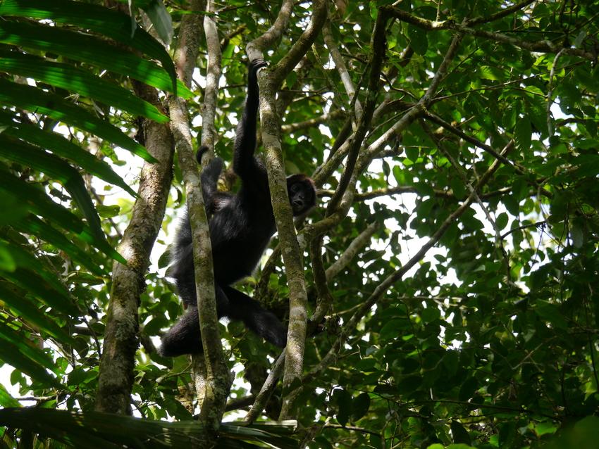 Brown headed Spider Monkey, Rio Canande Reserve, Ecuador © Nigel Simpson