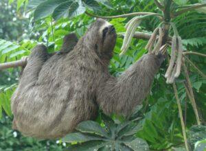 Brown-throated Sloth. ©Nicholas Locke