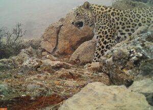 Caucasian Leopard. Credit: FPWC
